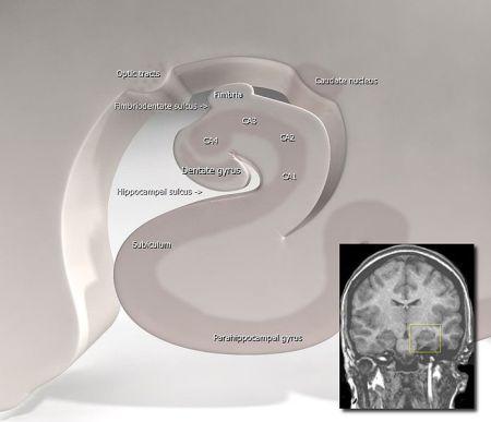 697px-Hippocampus_(brain)