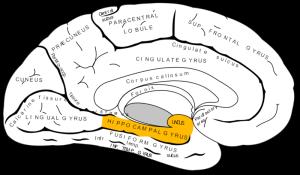 800px-Gray727_parahippocampal_gyrus