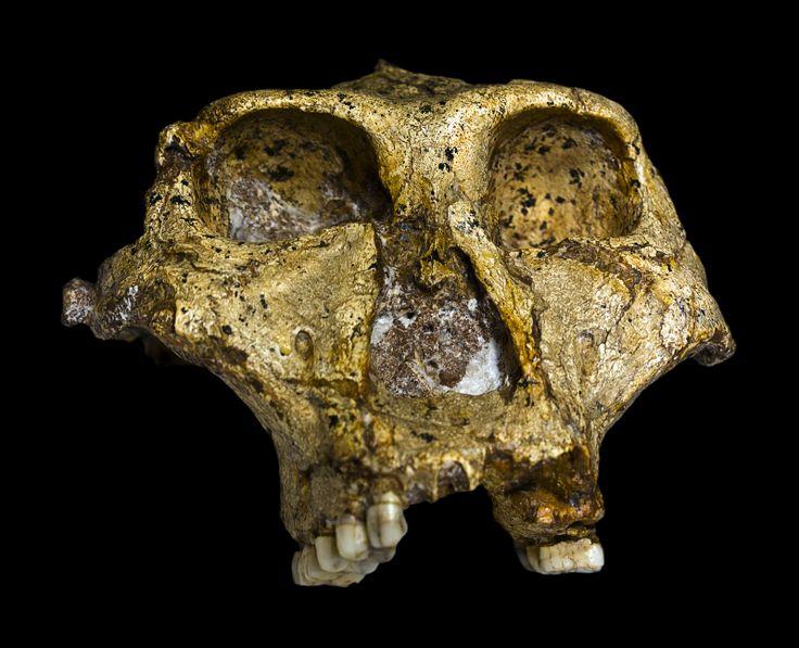 Paranthropus robustus SK-48