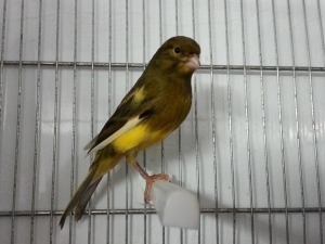 canario (1)